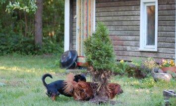 Mida teha, kui koerad käivad elupuu juures asjal?