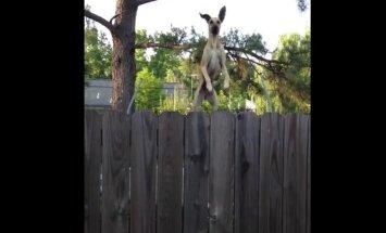 Naerutav VIDEO: Mida teeb nutikas koer, kui ta tahab näha, mis naabri aias toimub?