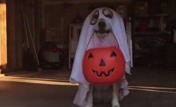 VIDEO: Kuidas sina halloweeni tähistad? Saa tuttavaks koeraga, kes käib halloweeni puhul perest peresse maiuseid küsimas