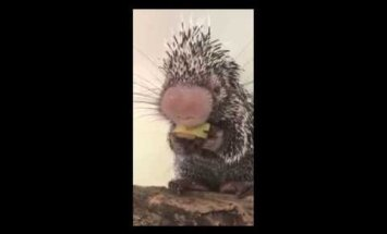 Nunnu VIDEO: Juba 13 miljonit inimest on vaadanud, kuidas pisike okassiga Wilbur banaanilõiku naudib