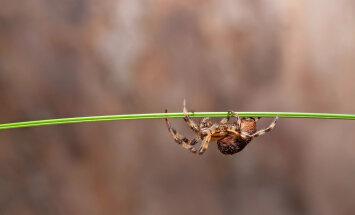 Uurime müüti: inimene neelab magades 8 ämblikku aastas