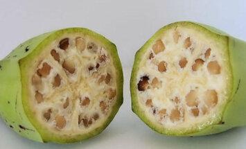 VIDEO: See on banaan või?! Tuntud viljad enne, kui inimesed hakkasid neid kultiveerima