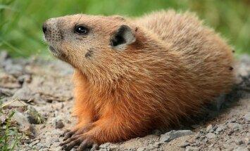 Ameeriklased usuvad karvastesse sünoptikutesse, nagu näiteks  metsümiseja.