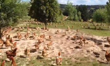 VIDEO: Kuidas näeb välja vabapidamisel olevate kanade hommik