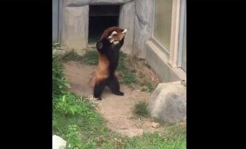 VIDEO: Panda reaktsioon teele sattunud