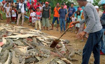 Индонезийцы убили 292 крокодила и отомстили за смерть друга