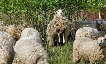 Sel nädalal Hispaanias: ela lammaste keskel nagu tõeline lambakarjus!