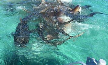VIDEO: 70 tiigerhaid maiustamas ühe vaalakorjuse kallal, inimeste silme all