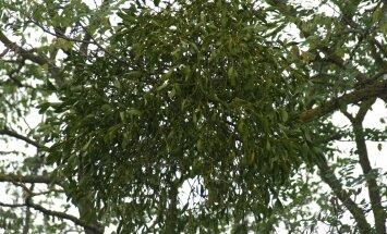 Puuvõõriku lehed ja marjad on hinnatud ravim.
