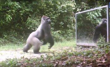 PÕNEV! Metsarahvale tuuakse peegel. Vaata, kas loomad tõesti suudavad oma peegelpildi ära tunda?
