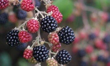 Pamplid kannavad väga rikkalikult vilja.