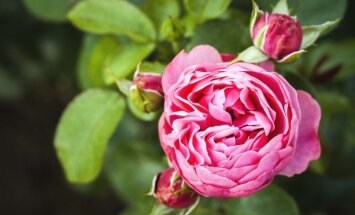 TASUB MINNA   Botaanikaaed kutsub uudistama nüüdisroose