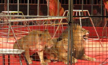 Ära toeta loomapiinamist: Kuus hirmsat asja, mida suurte kaslastega tsirkuses tehakse