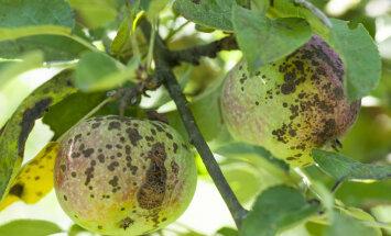 Õuna-kärntõbi