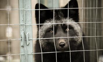 Loomade eestkostjad: karusloomafarmides pole võimalik heaolu tagada