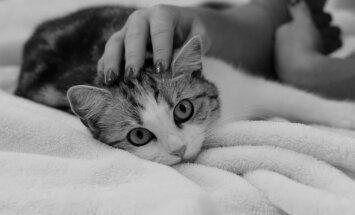 Suured kaisuloomad: 7 kassitõugu, kes süles nurrumisest ei tüdine