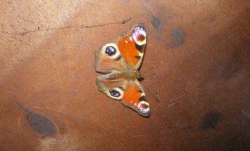 FOTOD: Esimesel advendil seikles köögis kirju liblikas