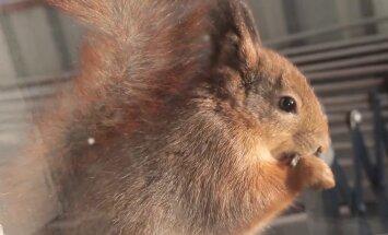 VIDEO: Orav käib rõdul lõunat söömas