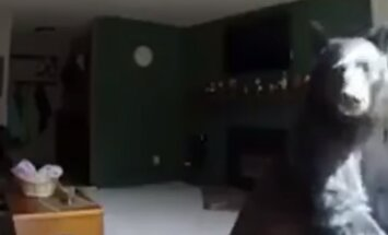 KURIOOSUM: Pere äraolekul murdis majja karu, kes soris külmkapis ja proovis klaverimängu