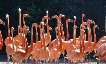 Miks flamingod alatasa ühel jalal seisavad?
