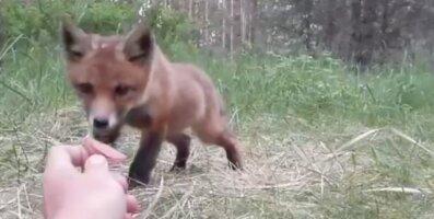 VIDEO | Loodusfotograaf meelitas kaadrisse rebasepojad
