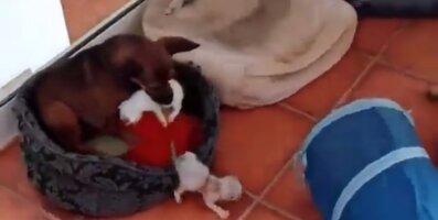 Kasuisa rõõmud ja mured: kohusetundlik koer püüab kõigest väest kassipesakonnal silma peal hoida
