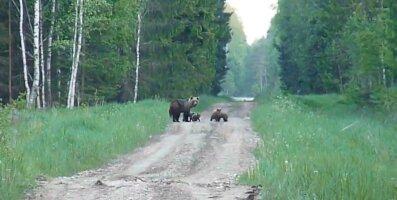 LUGEJA VIDEO | Vaata, kuidas karuema poegadega metsateel askeldab!
