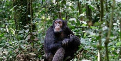 Uuring: Šimpansite jahikäitumine võib oleneda inimese kohalolust