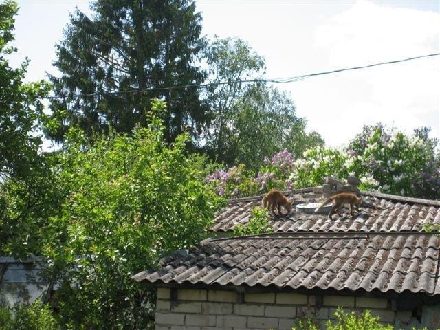 117902ea5c4575 FOTO  Maardus käivad rebased katuseid mööda - DELFI
