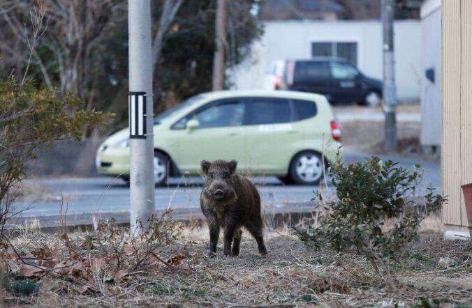 Fukushima tuumaõnnetuse ootamatu tagajärg: radioaktiivsed metssead ei lase elanikel naasta