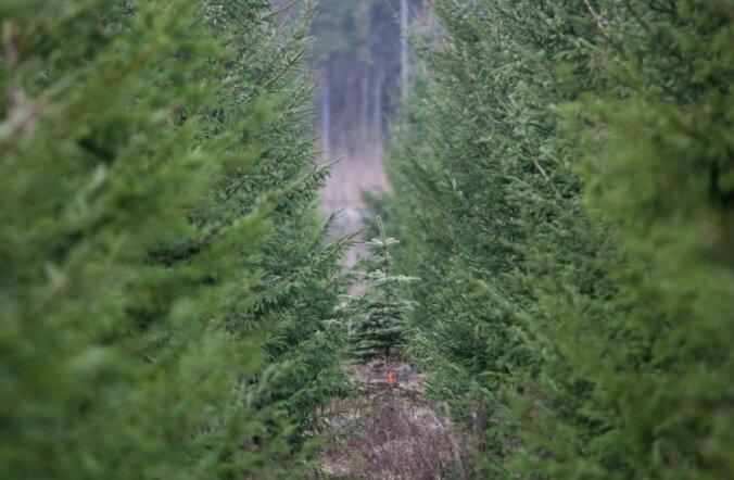Из государственных лесов вывезли 11 500 рождественских елок