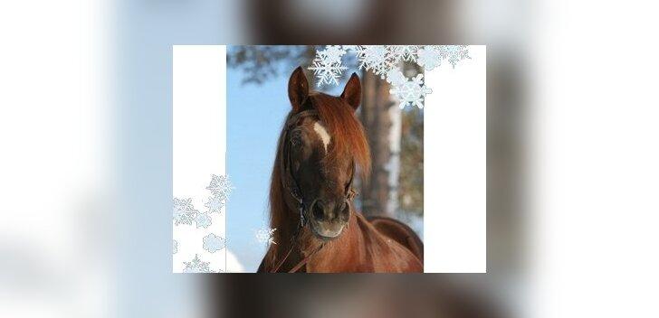 Vana-tori hobune. Foto: Vana-Tori Hobuse Ühing