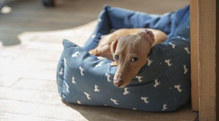 4 hirmsat asja: mis Sinu koera pesas elab ja kuidas neist vabaneda?