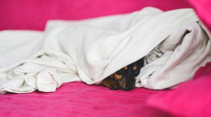 Koerte omapärased magamisharjumused: miks ta nii teeb?