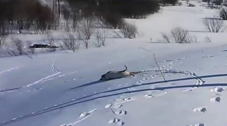 VIDEO: Lumemöll täies hoos! Vaata, kui vahvalt see labrador kelgutab