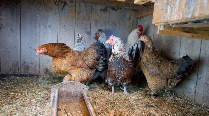 VIDEO: Vaata, mis juhtub, kui esileedi soovitatud kanatrend levima hakkab!