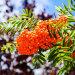 Maagiline pihlakas: suure väega väärtuslik ravimtaim ja iidne nõiapuu