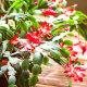 VIDEO | Väärt nõu aednik Jaan Mettikult! Kuidas saada jõulukaktus õitsema?