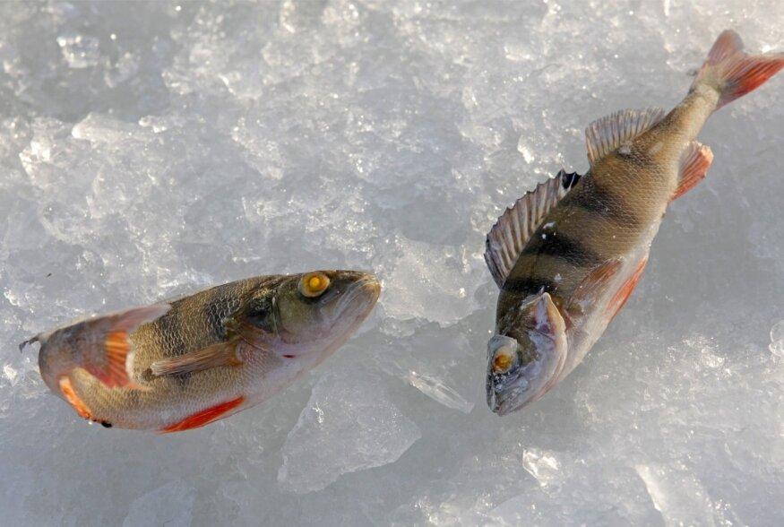 Eesti esimese kala-aabits õpetab 12 000 last kala sööma