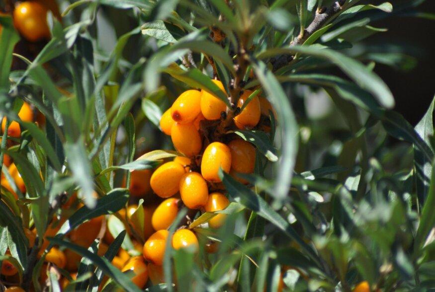 Astelpaju: täiuslik taimsete vitamiinide allikas