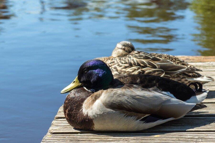 ВГолландии уничтожили 190 тыс. уток из-за угрозы птичьего гриппа