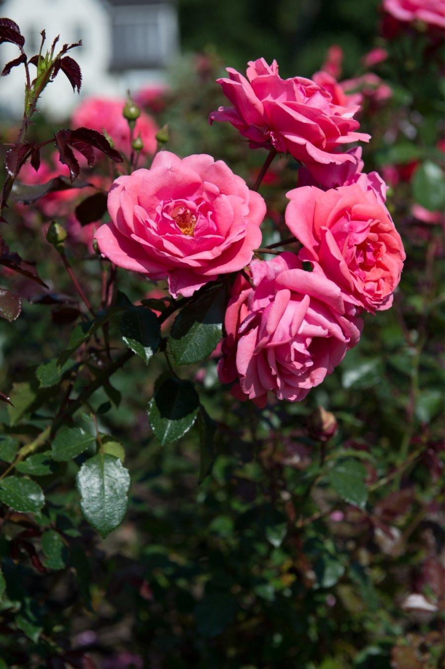 Pildiotsingu roosoja talu tulemus